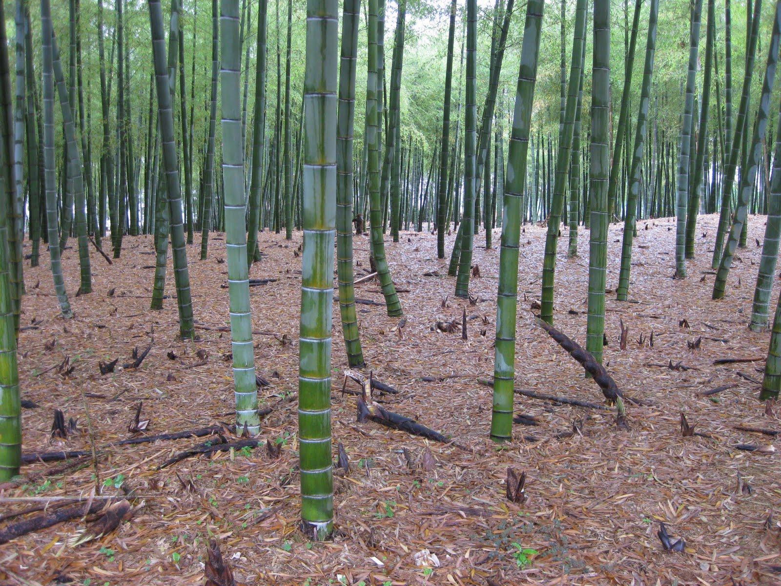 Bamb la coltivazione le zilli cibo vino blog magazine for Pianta bambu prezzo